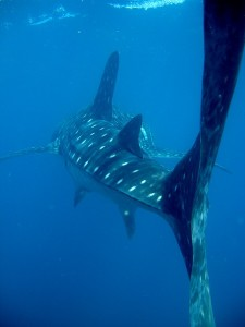 Tofo-Whale-Shark3