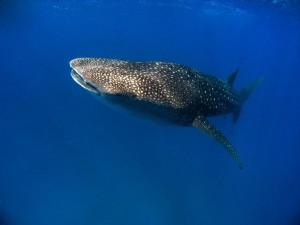 Tofo-Whale-Shark4