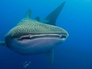 Tofo-Whale-Shark6